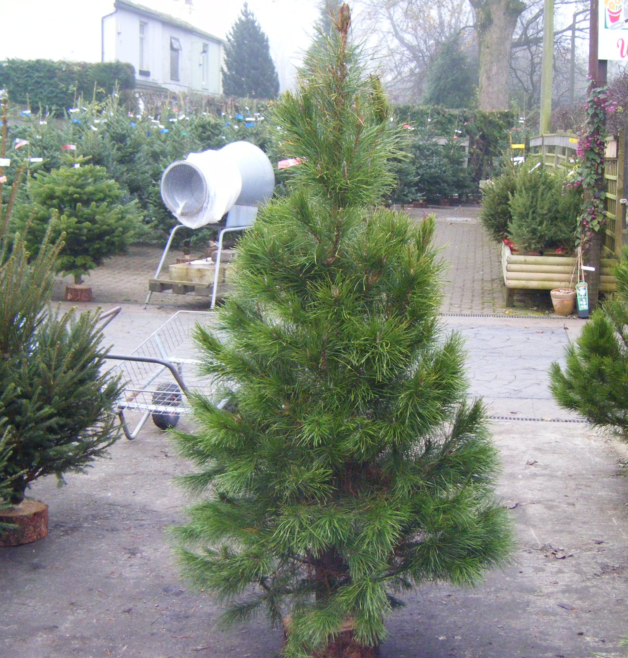 Christmas trees now available